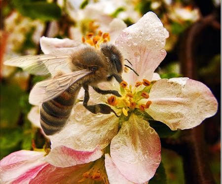 Бджола красуня досконалості
